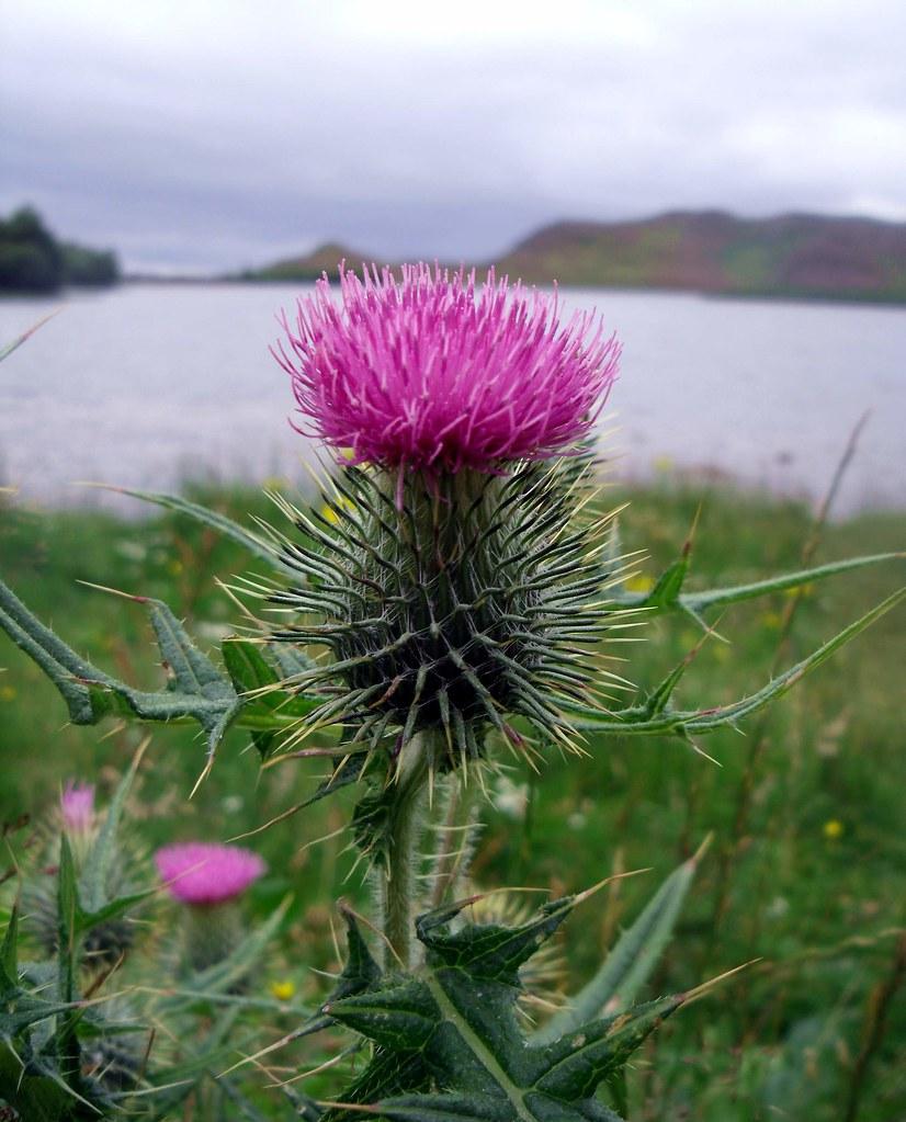 Chardon devant le lac du Loch Ness