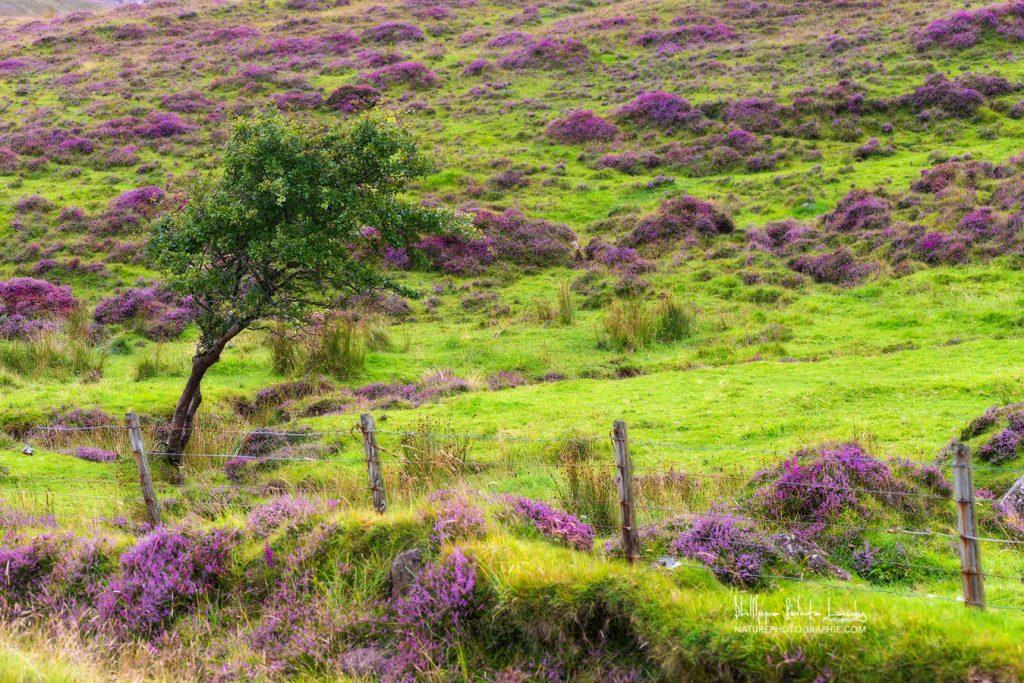 Bruyères Lande écossaise